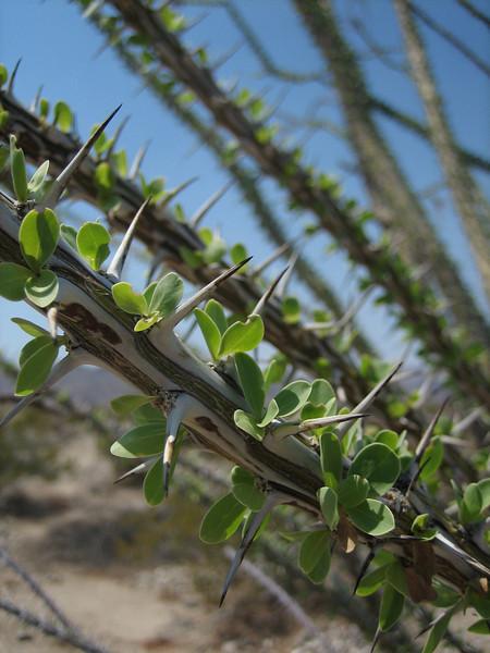 Fouquieria splendens, Jacob's staff,Ocotillo, (Joshua Tree National Park)