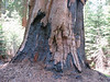 fire damaged Sequoiadendron giganteum (Sequoia National Park California)