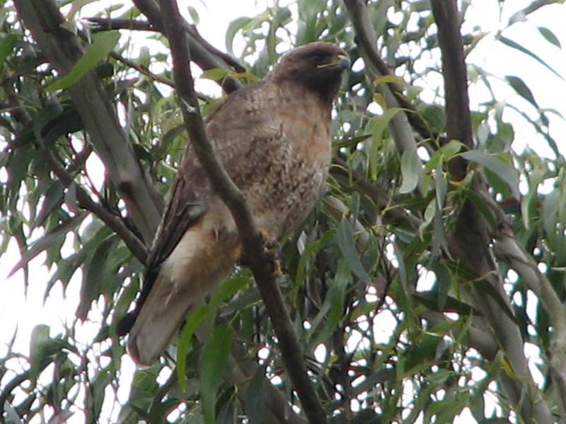 Redtailbusard, Bruteo juv. (NL: roodstaart buizerd, jonge vogel) (San Francisco)