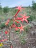 Ipomopsis aggregata (Skyrocket, Gilia, Utah)