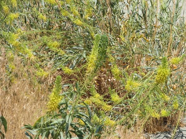 Desert Prince's plume, Stanleya pinnata (Arches N.P. Utah)