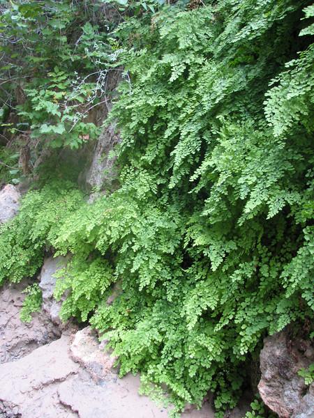 Adiantum capillus-veneris, maidenhair fern,(Zion National Park Utah)