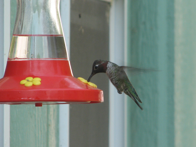 Archilochus alexandri, Black-Chinned Hummingbird,