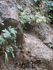 Habitat of Aquilegia spec. (Zion National Park Utah)