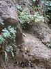 Habitat of Aquilegia spec. (Zion National Park Utah)