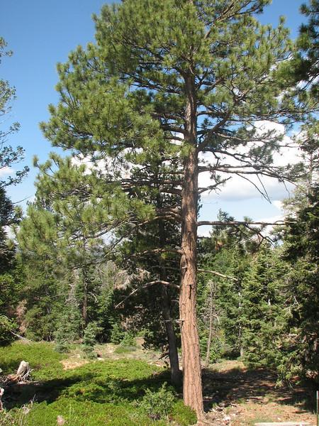 Pinus ponderosa, Ponderosa pine, Bryce Canyon