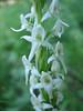 Sierra Rein Orchid, Habenaria dilatata (Sequoia N.P. Siera Nevada California)