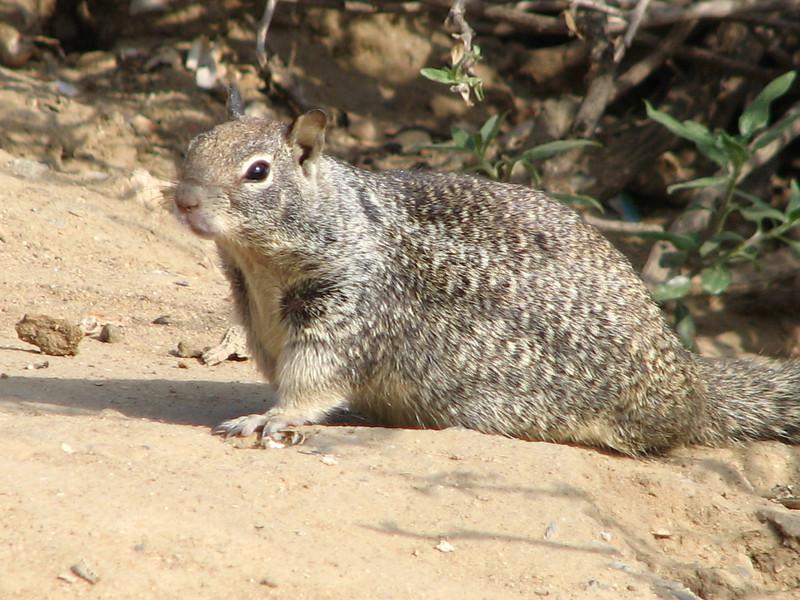 Sciurus griseus, Western Gray Squirrel, (Westcoast Pacific.)