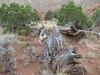 Utah juniper, Juniperus osteosperma,(Capital Reef Nat'l Park)