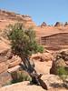 Utah Juniper, Juniperus osteosperma (Utah)