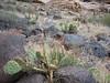 Opuntia spec. Capitol Reef Nat'l Park Utah