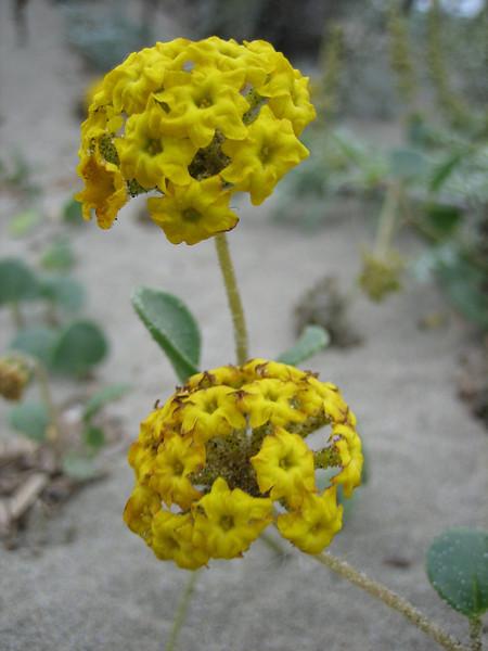 Abronia latifolia, coastal sand verbena, San Francisco, California