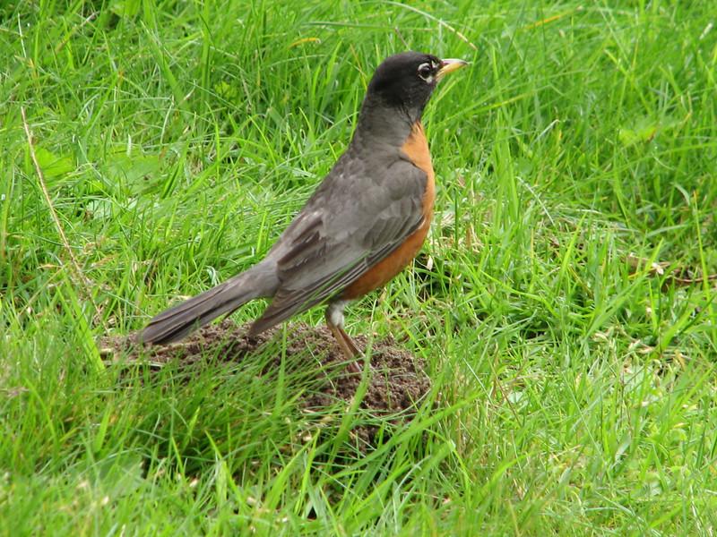 American Robin, Turdus migratorius (San Francisco)