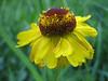 Sneezeweed, Helenium bigelovii (Sequoia N.P. Siera Nevada California)