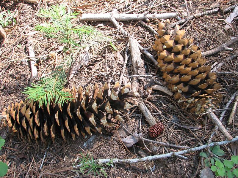 Cones of Pinus lambertiana, Sugar Pine,