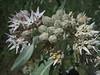 Asclepias speciosa (Showy Milkweed,Yosemite N.P. Siera Nevada)