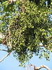 parasite Viscum album, (Joshua Tree National Park)