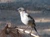Aphelocoma coerulescens, Scrub Jay, juvenile