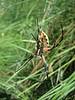 Argiope spec. (Sequoia N.P. Siera Nevada)