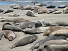 Mirounga angustirostris, Sea elephants (the Montery Bay, National Marine Sanctuary)