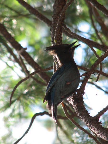 Stellers jay (Yosemite National Park )