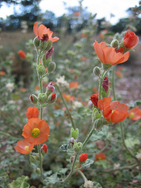 Globe Mallow, Sphaeralcea ambigua (Grand Canyon National Park)