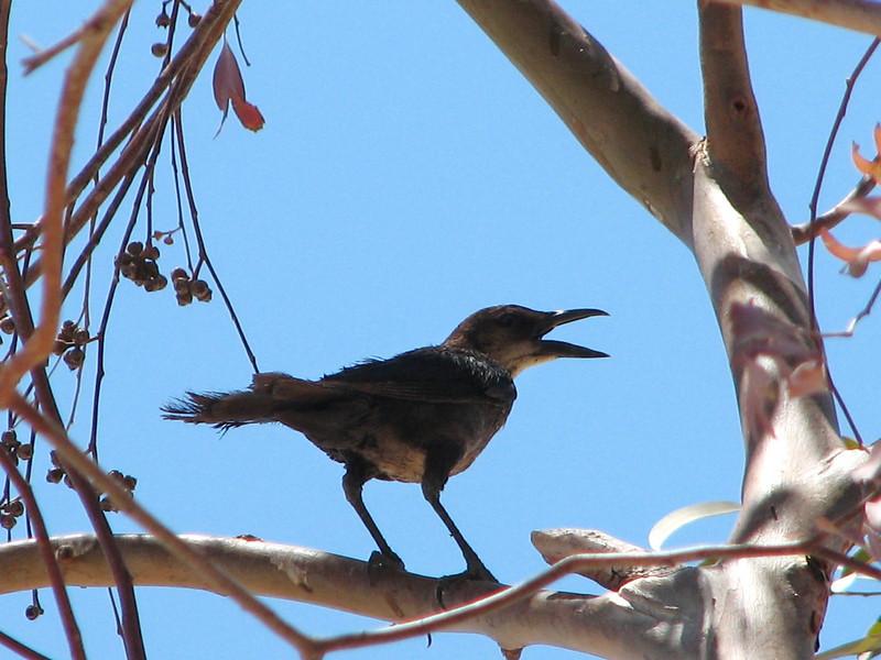 Mimus polyglottos, Northern Mockingbird, (Joshua Tree National Park)