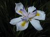 Iris cristata spec. (San Francisco)