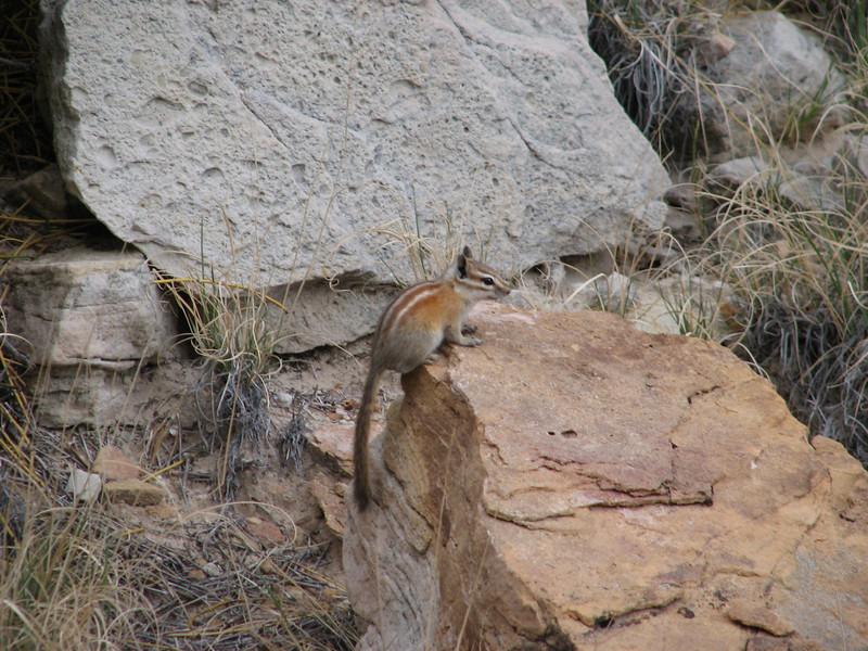 Uinta chipmunk, Entamias umbrinus (Capitol Reef Nat'l Park Utah)
