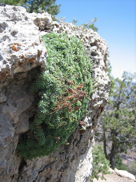 habitat of Petrophytum caespitosum (Rosaceae)