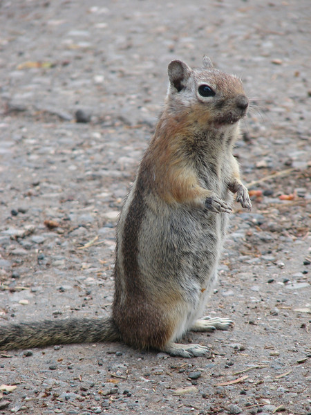 Golden mantled ground squirrel, Spermophilus lateralis (Grand Canyon National Park)