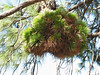 Pinus witch broom