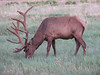 Cervus elephus, Elk, Grand Canyon, Arizona