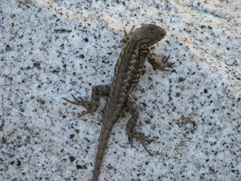 Sceloporus occidentalis, Western Fence Lizard,(Yosemite)
