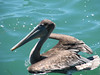 Pelecamus accidentalis, Brown Pelican, (Westcoast Pacific)