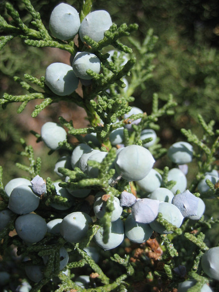 Juniperus osteosperma (Grand Canyon National Park)