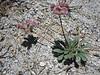 Pussypaws, Calyptridium umbellatum (Yosemite N.P. Siera Nevada)
