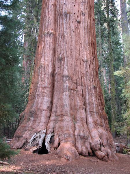 Trunk of General Sherman Tree, Sequoiadendron giganteum (Sequoia N.P. California)