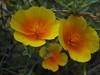 Mexican poppy, Escholtzia mexicana (San Francisco)
