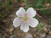 Geranium caespitosum (Small leaf Geranium, Utah)