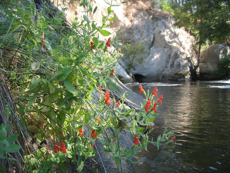 habitat of Mimulus cardinalis (Kings Canyon N.P.California)
