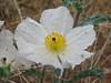 Prickly poppy, Argemone pleiacantha (Dixie National Forest Utah)