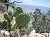 Prickly Pear Cactus, Opuntia spec. (Grand Canyon National Park)