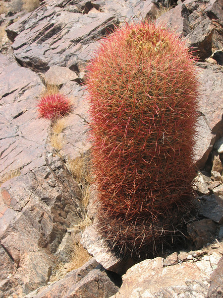 Ferocactus cylindraceus, Red Barrel Cactus, (Joshua Tree National Park)