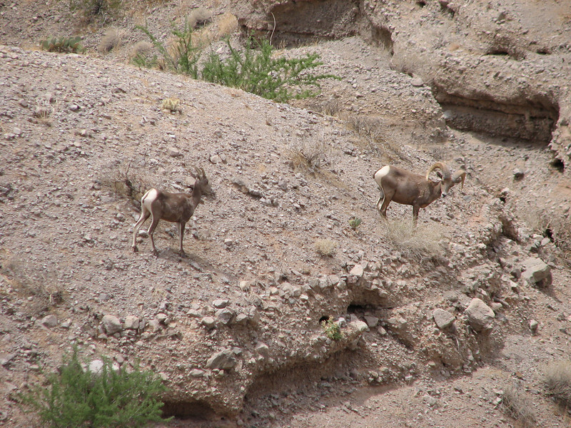 Bighorn Sheep, Ovis canadensis (Nevada)