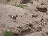 Bighorn Sheep, Ovis canadensis (Nevada)