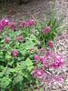Salvia involucrata (San Francisco)