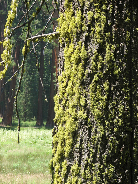 trunk of Pinus lambertiana, Sugar Pine,  (Sequoia National Park California)