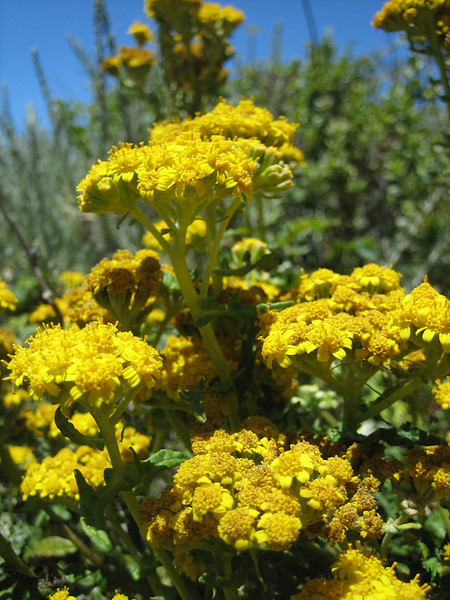 Senecio spec. (Westcoast Pacific.)
