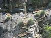 habitat Yucca whipplei (Siera Nevada California)